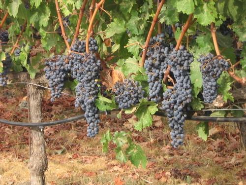 021mondavi_winery13